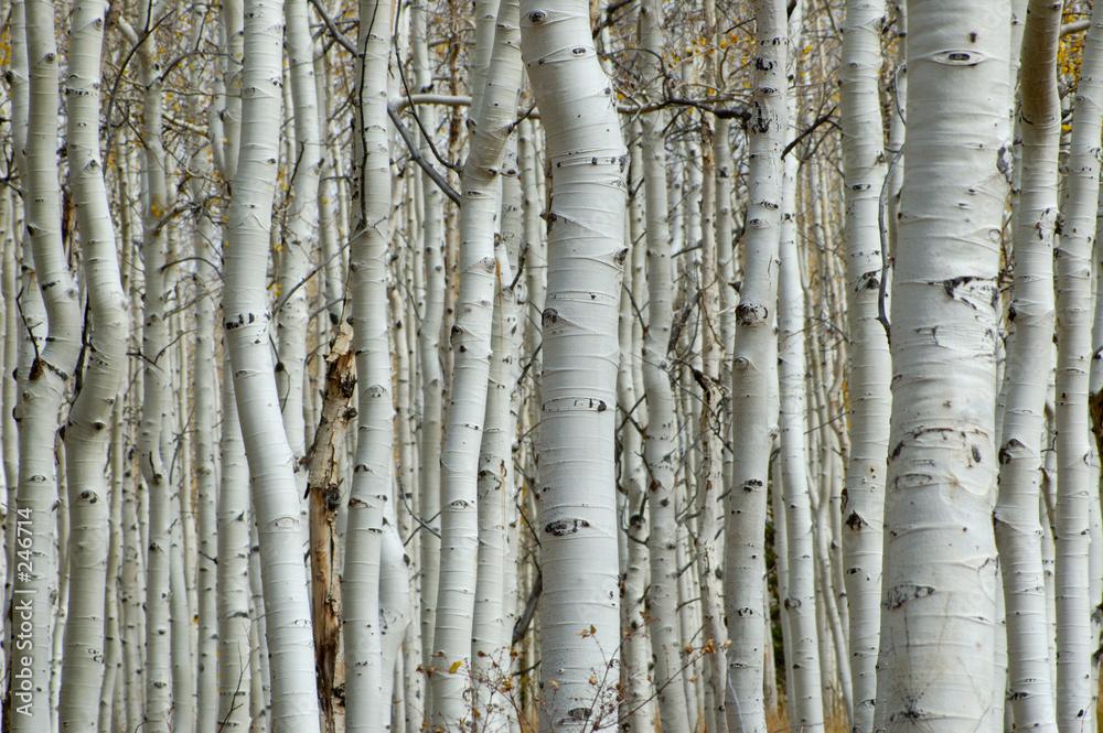 Brzozy jesienną porą - powiększenie