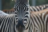 Fototapete Zebra - Streifen - Säugetiere