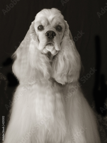 poster of american cocker spaniel in black and white