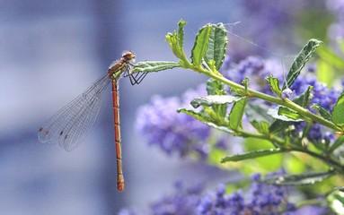 damsonfly on blue