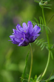 purple wildflower in field of vetch poster