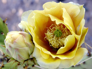 yellow beavertail cactus flower closeup