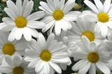 white daisies - 258530