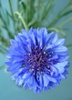 canvas print picture - cornflower