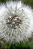 fluffy dandelion poster