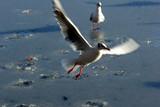 bird seagull poster