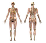 female skeleton with transparent muscles poster