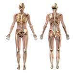 ženské kostry s průhledným svaly