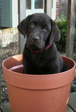 potted puppy poster