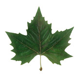isolated maple leaf poster