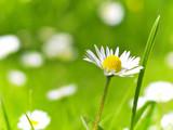 Fototapeta stokrotka - pole - Kwiat