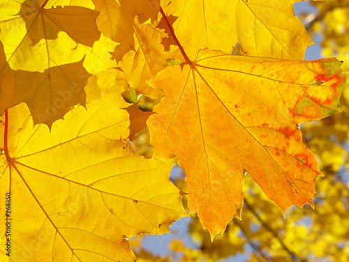 Leinwanddruck Bild maple leaves