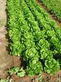 leafy vegetables poster
