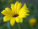 yellow flower with water drops - spring rain poster