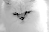kitten face poster
