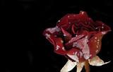 lone rose poster