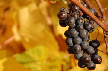 grapevine in fall 2