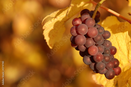 golden grapevine