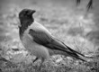 birds have quarrelled b&w