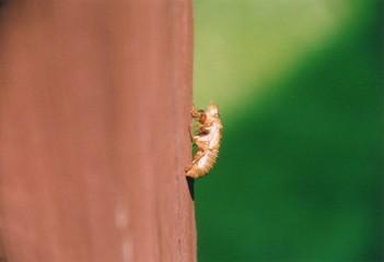 cicada in larval skin