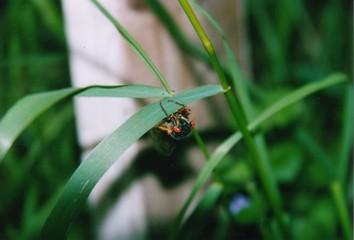 cicada - every 17 years