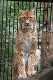 wild cat poster