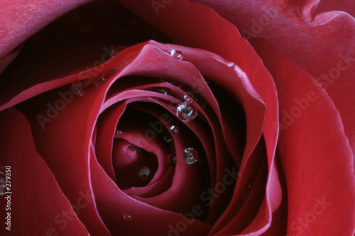 canvas print picture scarlet passion