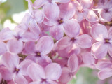 macro of lilac bloom poster