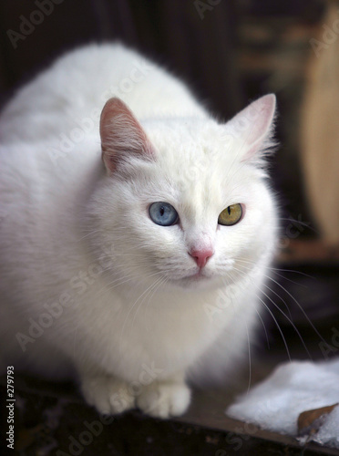 poster of portrait of a white cat