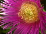 fleur mauve et jaune de plante grasse poster