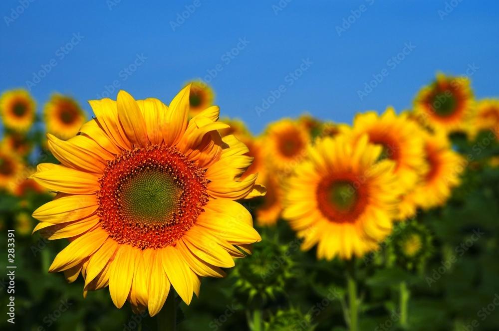 lato rura kwiat - powiększenie