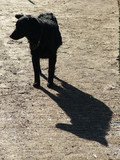 shadow dog poster