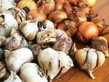onion vs garlic poster