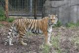 large tiger poster