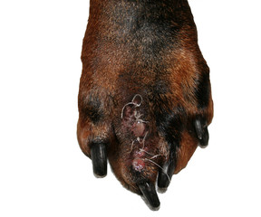 dobermann foot with stiches