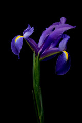 iris over black