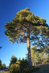 pino albar