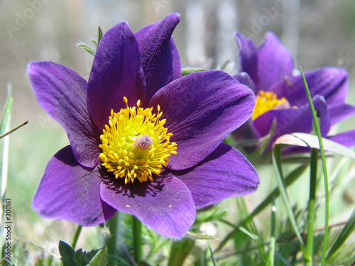 pasque-flowers