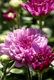 purple mums - chrysanthemum flowers poster