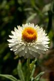 white straw flower single closeup poster