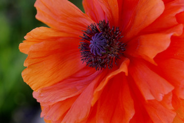 beautiful orange red poppy flower closeup