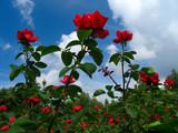 rose-bush on blue sky background poster