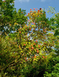 lipstick tree, hoomaluhia botanical gardens poster