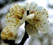 canvas print picture plum flowers