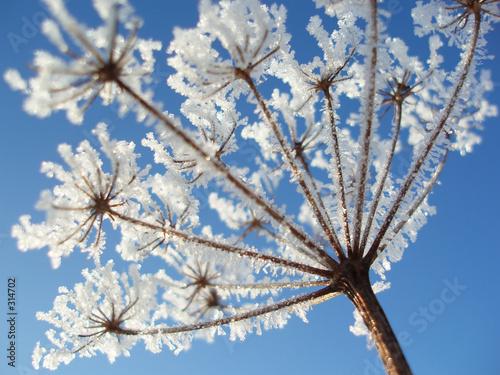 Keuken foto achterwand Paardebloemen en water seed with ice crystals