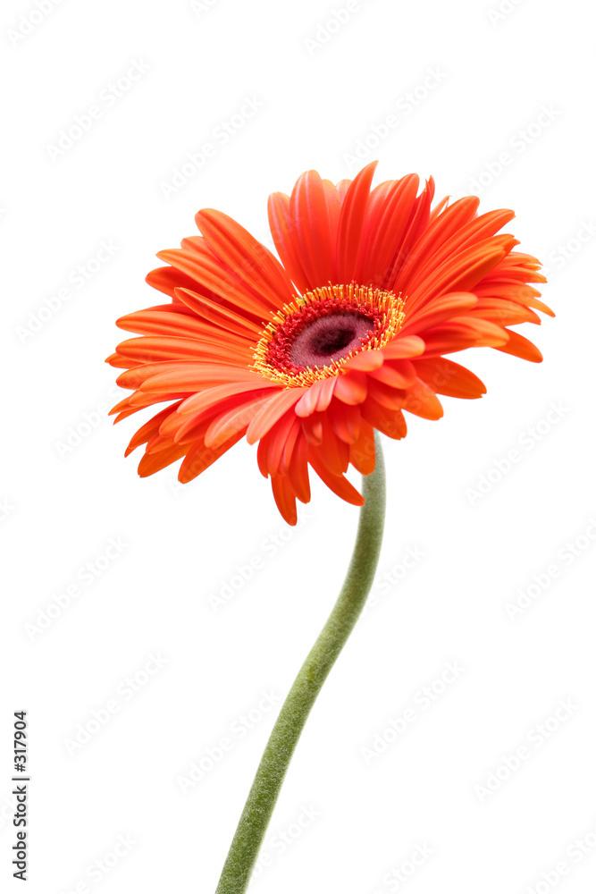 kwiat pomarańczowy czerwony - powiększenie