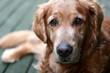 roleta: dog golden retriever