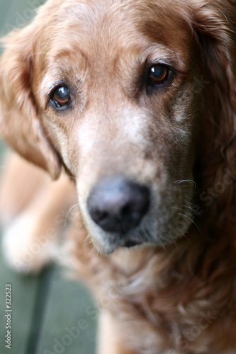 poster of dog golden retriever