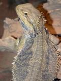 bearded lizard poster