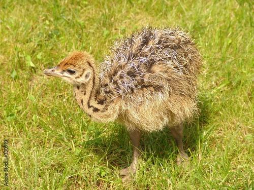Keuken foto achterwand Struisvogel straussenküken